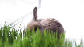 Wielkanocny królik na zielonej wiosny trawie zdjęcie wideo