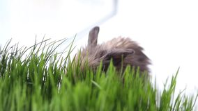 Wielkanocny królik na zielonej wiosny trawie zbiory wideo