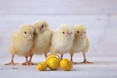 Wielkanocny kurczak, jajka i dekoracja na białym tle, obraz royalty free