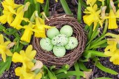 Wielkanocnych jajek gniazdeczko w daffodils Obrazy Royalty Free