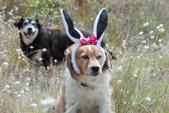 Wielkanocnych królików ucho Zdjęcia Stock