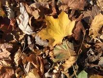 Wielki Żółty liścia spadek Barwi Szerokiego Zdjęcia Royalty Free