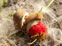 Wielki ślimaczek wśród dandelion je truskawki Obrazy Royalty Free