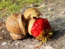 Wielki ślimaczek wśród dandelion je truskawki Zdjęcie Stock