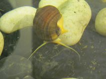Wielki ślimaczek w wodzie, zakończenie w górę zdjęcie stock