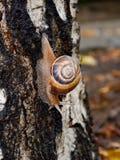 Wielki ślimaczek z piękną ślimakowatą skorupą i antena kraulami zestrzela mokrą brzozy barkentynę na ciepłym i dżdżystym letnim d obrazy royalty free