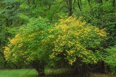 Wielki Żółty azalia krzak obraz stock