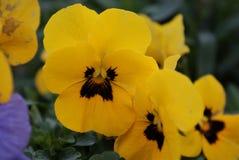 Wielki Żółty Pansy zdjęcie stock