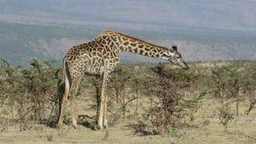 Wielki żyrafy łasowanie opuszcza od niskich akacjowych krzaków na gorącym dniu zbiory