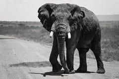 Wielki Afrykański słoń samotnie wzdłuż drogi w Maasai Mara Kenja, Afryka zdjęcie stock