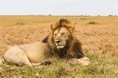 Wielki afrykański lew jest odpoczynkowy na wzgórzu Kenja, Afryka Fotografia Stock
