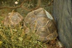 Wielki Afrykański Tortoise Fotografia Stock