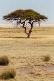 Wielki Akacjowy drzewo w otwartych sawannowych równinach Afryka Obraz Royalty Free