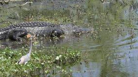 Wielki aligator chodzi w bagnie zbiory wideo