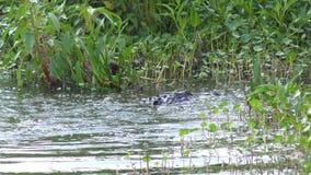 Wielki aligator skacze zbiory
