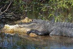 Wielki aligatora Sunning obrazy royalty free
