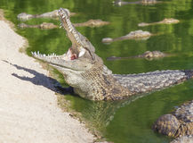 Wielki Amerykański krokodyl z otwartym usta Zdjęcie Royalty Free
