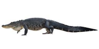 Wielki Amerykański aligator Zdjęcia Royalty Free
