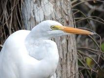 Wielki Amerykański Egret Obraz Royalty Free