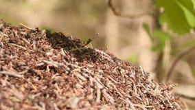 Wielki anthill z kolonią czerwone mrówki pod dębową gałąź w lata światła słonecznego lesie na tle w zwolnionym tempie zdjęcie wideo