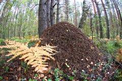 Wielki anthill zakończenie przeciw sosnowemu lasowemu rybiego oka obiektywowi zdjęcia stock