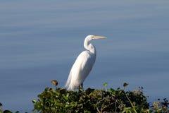 wielki ardea egret obraz stock