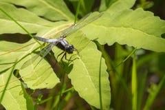 Wielki Błękitny Cedzakowy Libellula vibrans dragonfly zdjęcie royalty free