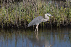 Wielki Błękitny Egret, Merritt wyspy Krajowy rezerwat dzikiej przyrody, Flori Obraz Royalty Free
