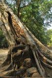 Wielki banyan drzewo, Kambodża Obrazy Stock