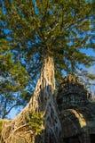 Wielki banyan drzewo r na antycznej świątyni w Angkor Wat, Siam Przeprowadza żniwa, Kambodża zdjęcia stock