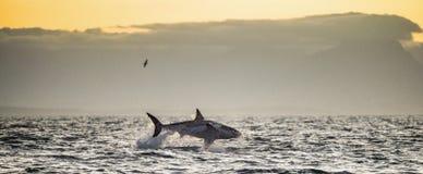 Wielki białego rekinu Carcharodon carcharias naruszać Obrazy Royalty Free