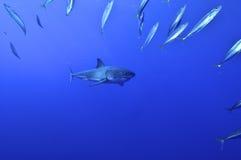 Wielki białego rekinu polowanie Obrazy Stock