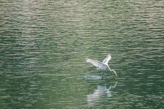 Wielki biały egret lata z wdziękiem nad jeziorem Obrazy Royalty Free