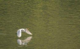 Wielki biały egret lata z wdziękiem nad jeziorem Obraz Royalty Free