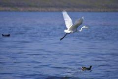 Wielki biały egret latający jeziorny Chandigarh Obraz Royalty Free
