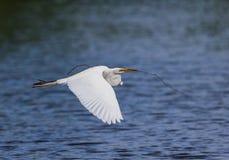 Wielki biały egret niesie gniazdować materiał gniazdować Zdjęcia Royalty Free