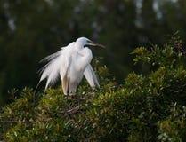 Wielki biały egret w lęgowym upierzeniu Obrazy Royalty Free