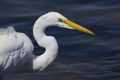 Wielki biały egret z żółtego belfra glansowanym okiem i długim szyi visi Zdjęcia Stock