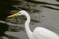 Wielki Biały Egret z Wodnym tłem zdjęcia stock