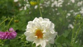 Wielki biały kwiat pod deszczem zbiory wideo
