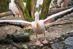 Wielki biały pelikan obraz stock
