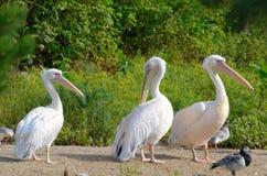 Wielki biały pelikan Zdjęcia Stock
