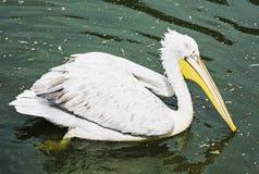 Wielki biały pelikan - Pelecanus onocrotalus †w wodzie ' fotografia royalty free