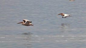 Wielki Biały pelikan, pelecanus onocrotalus, dorosli w locie, grupa przy Nakuru jeziorem w Kenja, zbiory wideo
