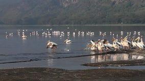 Wielki Biały pelikan, pelecanus onocrotalus, dorosli w locie, kolonia przy Nakuru jeziorem w Kenja, zdjęcie wideo