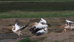 Wielki Biały pelikan, pelecanus onocrotalus, dorosli w locie, kolonia przy Nakuru jeziorem w Kenja, zbiory