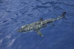 Wielki biały rekin Meksyk zdjęcie stock