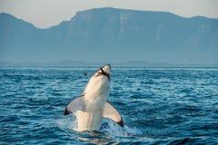 Wielki biały rekin narusza w ataku na foce i łykającym foka (Carcharodon carcharias) Zdjęcia Stock