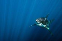 Wielki biały rekin przygotowywający atakować podwodnego zakończenie up Obrazy Stock
