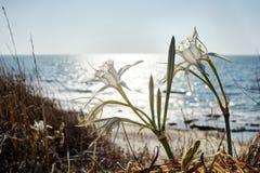 Wielki białego kwiatu Pancratium maritimum Zdjęcia Royalty Free